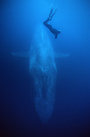 blue whale and diver underwater photo