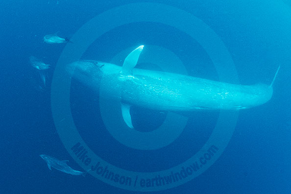 Blue whale underwater - photo#7