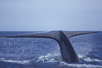 blue whale fluke photo