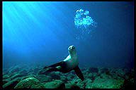 California sea lion vocalizing underwater
